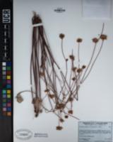 Eriogonum nudum var. oblongifolium image