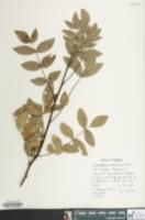 Image of Zanthoxylum americanum