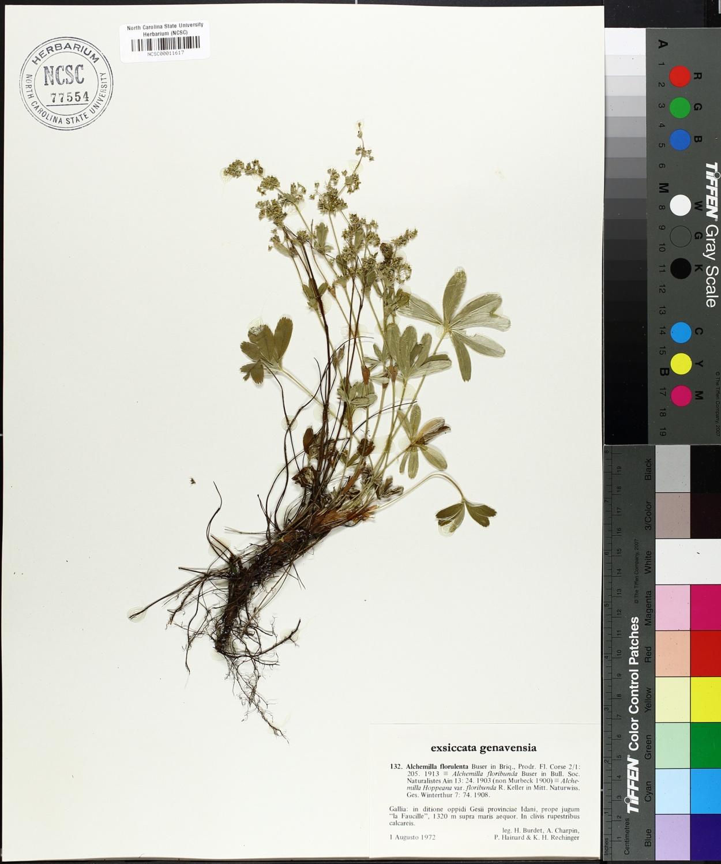 Alchemilla florulenta image