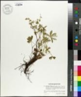 Image of Alchemilla florulenta