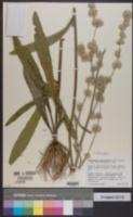 Orthopappus angustifolius image