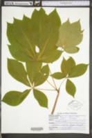 Aesculus flava image
