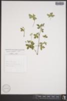 Image of Geranium nepalense