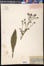 Image of Cynoglossum apenninum