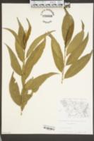 Prunus persica image
