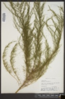 Image of Artemisia arborescens