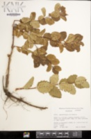Symphoricarpos occidentalis image