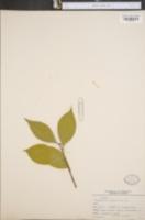 Image of Camellia japonica