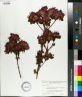 Image of Rhododendron japonicum