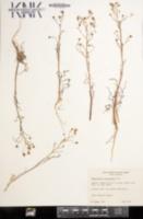 Malacothrix clevelandii image