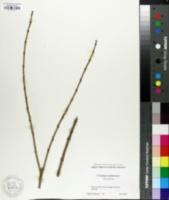 Chitalpa tashkentensis image