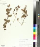 Image of Searsia marlothii