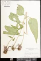 Echinacea purpurea image