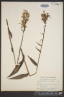 Platanthera peramoena image