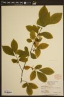 Lindera benzoin image