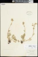Image of Potentilla crinita