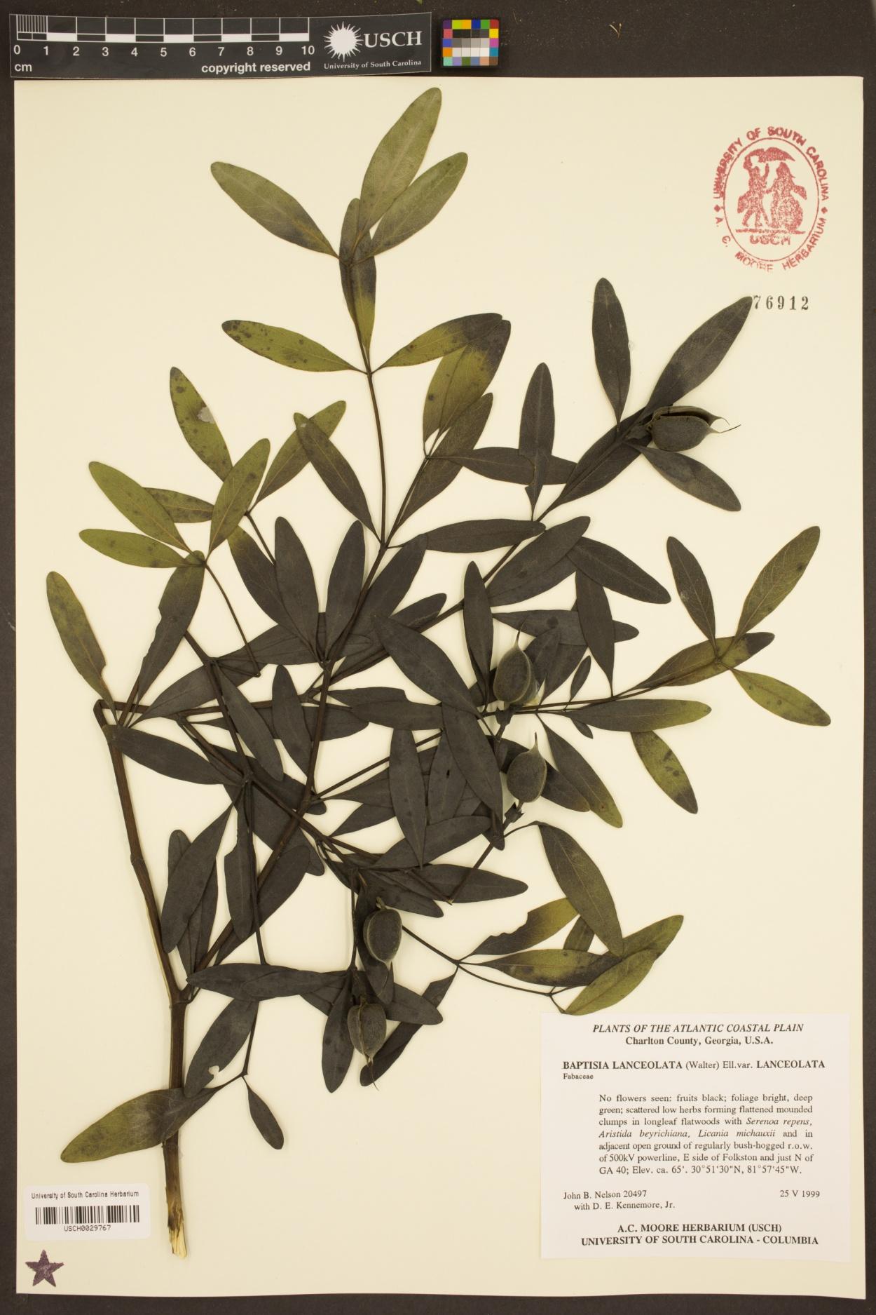 Baptisia lanceolata var. lanceolata image