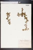 Image of Amaranthus lividus
