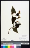Mikania cordata image