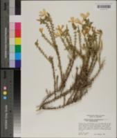 Leptodactylon californicum image