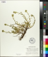 Image of Sideritis hyssopifolia