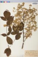 Aralia spinosa image