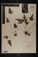 Image of Tectaria fimbriata