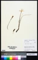Image of Zephyranthes flavissima
