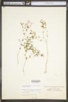 Paronychia canadensis image