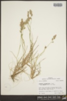 Eragrostis secundiflora image