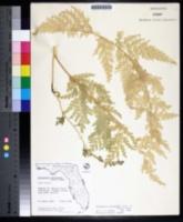 Selaginella willdenowii image