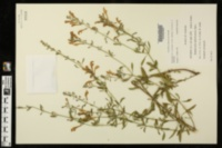 Image of Scutellaria glabriuscula