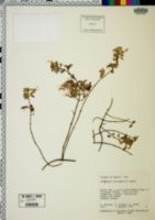 Image of Stenogyne microphylla