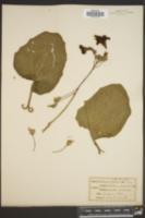 Proboscidea louisianica subsp. fragrans image
