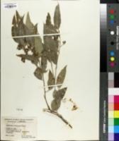 Image of Eucalyptus microcorys