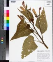 Ipomoea carnea subsp. fistulosa image