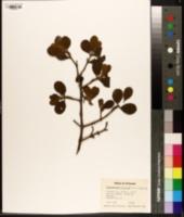 Phoradendron serotinum image