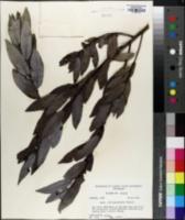 Salix glaucophylloides image