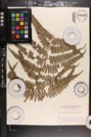 Pteridium revolutum image