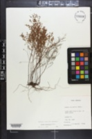 Lechea tenuifolia image