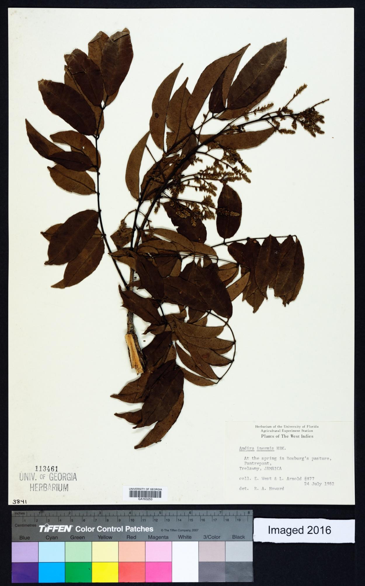 Andira image