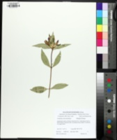 Image of Gentiana austromontana