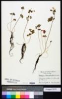 Isopyrum biternatum image
