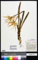 Hymenocallis godfreyi image