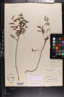 Crocanthemum corymbosum image
