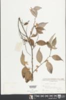 Image of Lindera chunii