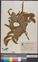Image of Cupania paniculata