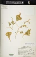 Austrolycopodium magellanicum image