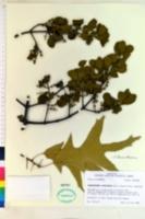 Image of Phoradendron leucocarpum