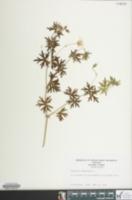 Image of Geranium sanguineum
